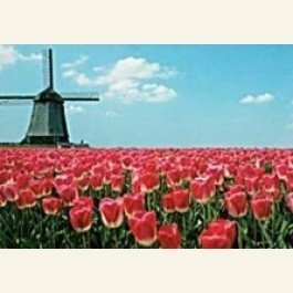 Postcard | Red tulips and windmill Holland