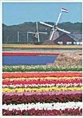 Postcard | Windmills & Tulips, Holland