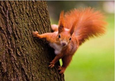 Postcard Tushita   Red Squirrel II