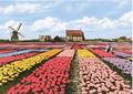 Postcard | Dutch Tulip Fields