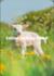 Shutterstock - Burry van den Brink Postcard   Lamb_